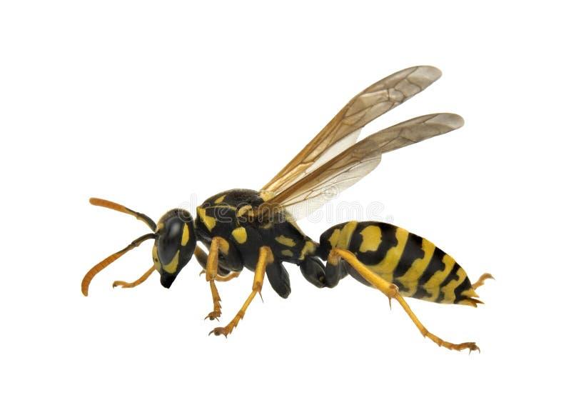 isolerad wasp arkivfoton