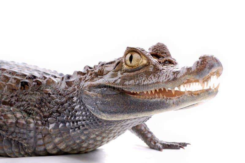 isolerad white för alligator bakgrund royaltyfria bilder