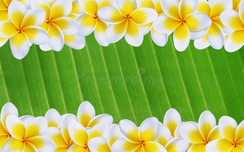 isolerad white för blomma frangipani arkivbild