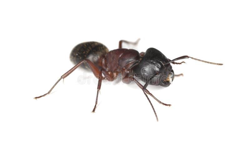 isolerad white för myra snickare arkivbild