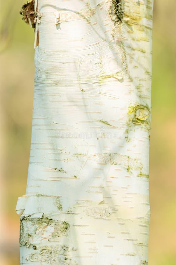 isolerad white för skäll björk arkivbilder