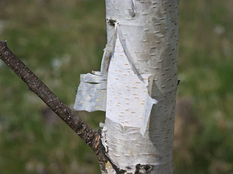 isolerad white för skäll björk fotografering för bildbyråer