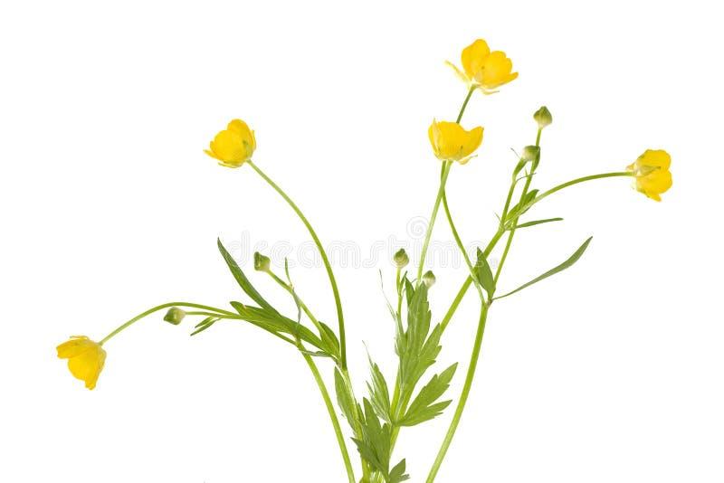 isolerade buttercupblommor royaltyfri bild