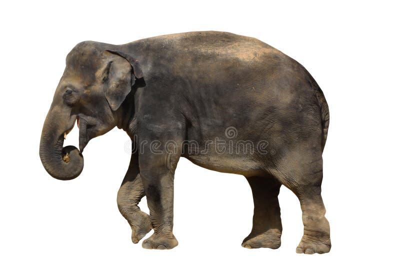 Isolerade däggdjur för elefant djurliv royaltyfri bild