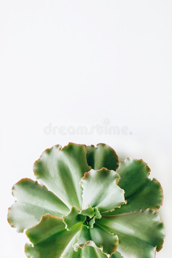 Isolerade de gröna suckulenta växterna på en vit bakgrund royaltyfria bilder