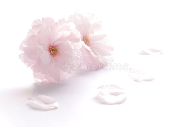 Isolerade den dubbla blommiga körsbärsröda blomningen för japan 4 arkivbild