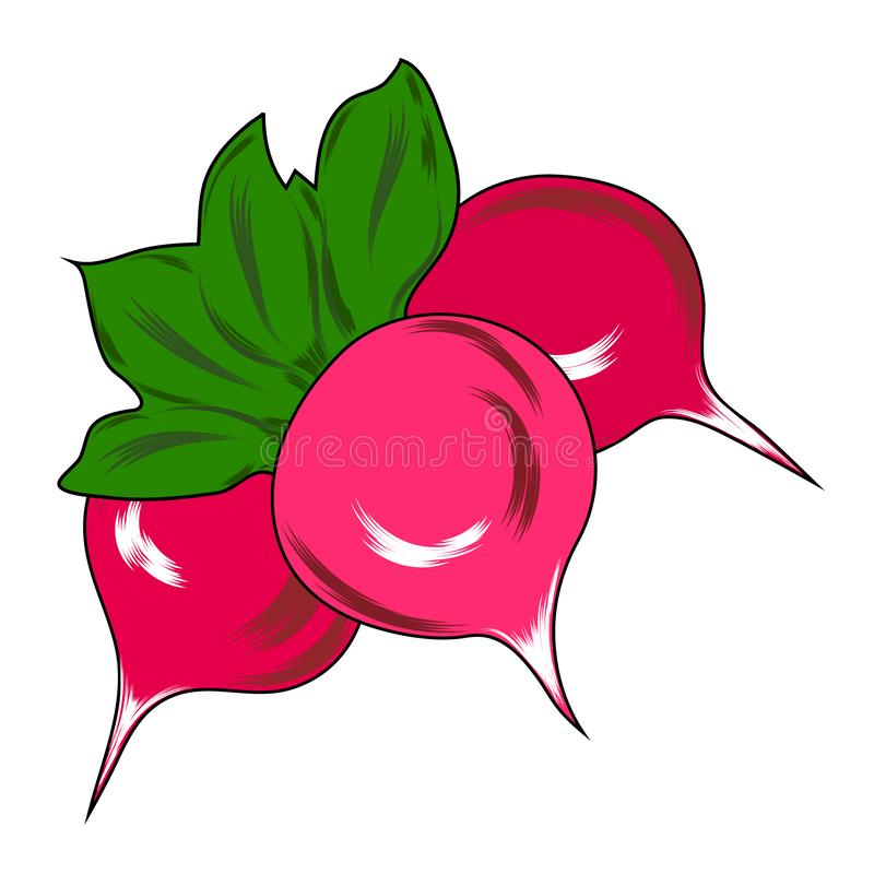 Isolerade den nya naturliga grönsaken för rädisan, utdragen vektorillustration för hand royaltyfri illustrationer