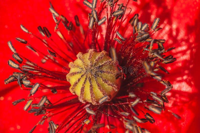isolerade den stora dekorativa blommatr?dg?rden f?r bakgrund vallmowhite arkivfoto