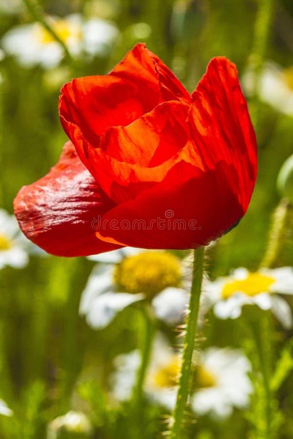 isolerade den stora dekorativa blommatr?dg?rden f?r bakgrund vallmowhite royaltyfri fotografi