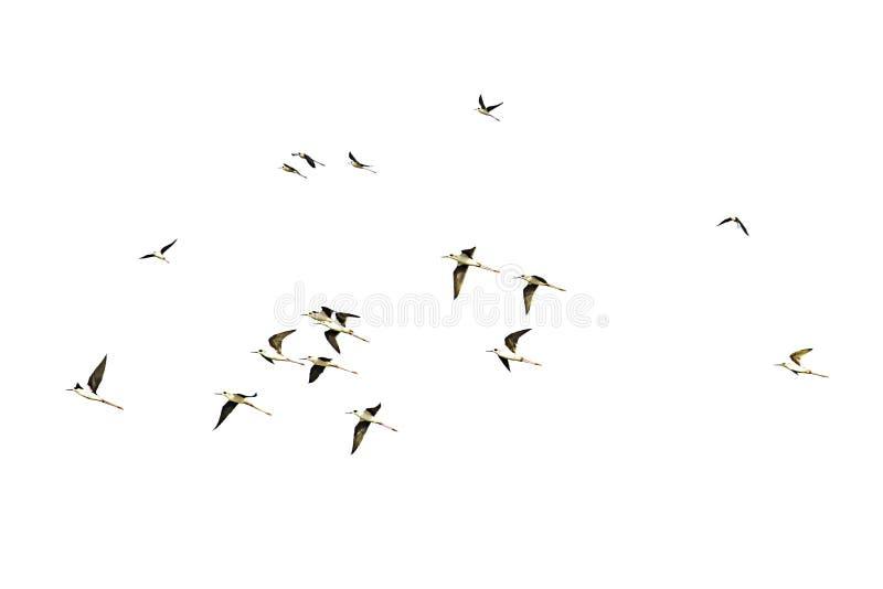 Isolerade flockar av fåglar som flyger på en vit bakgrund med urklippbanan royaltyfri bild
