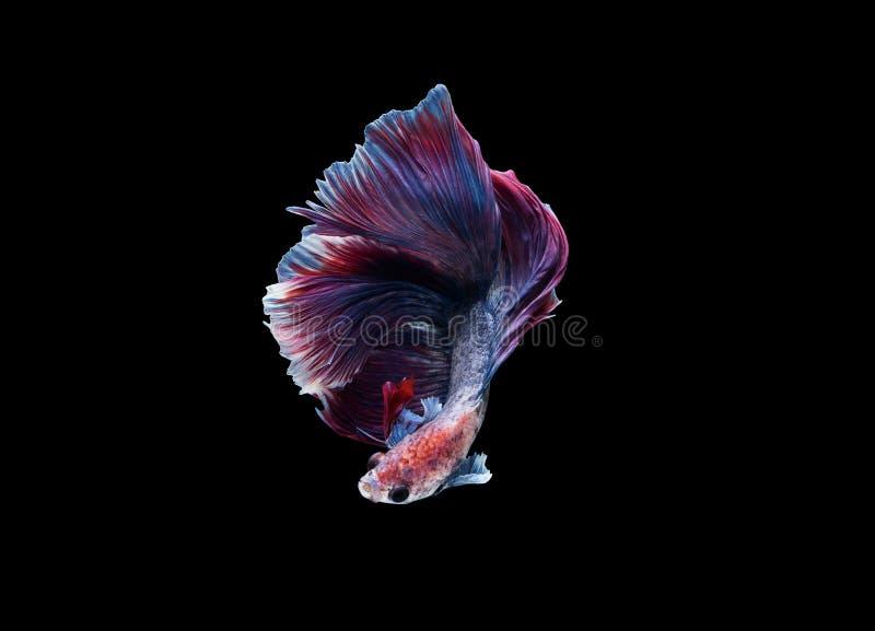 Isolerade HalfmoonBetta splendens eller siamese stridighetfisk royaltyfria foton