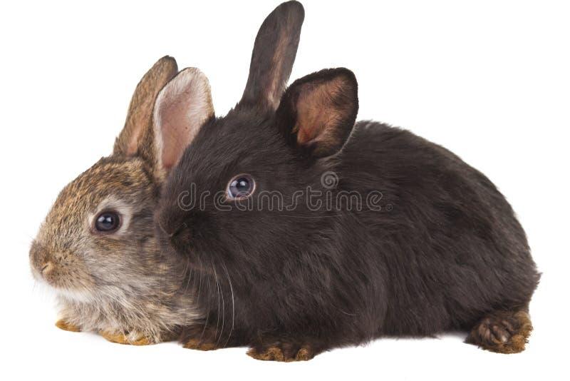 Isolerade kaniner royaltyfri bild
