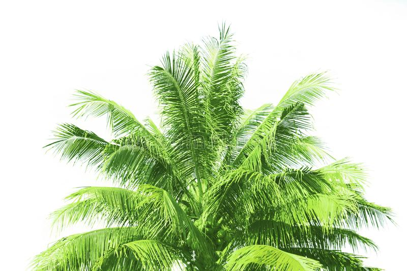Isolerade kokospalmen eller gömma i handflatan på vit bakgrund fotografering för bildbyråer
