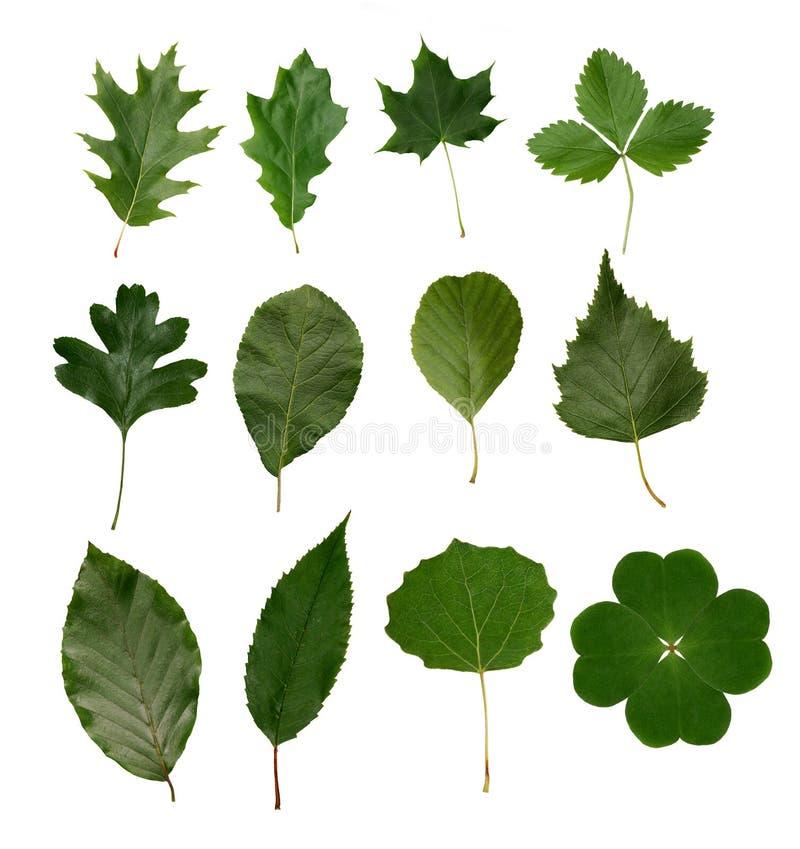 isolerade leaves arkivbilder
