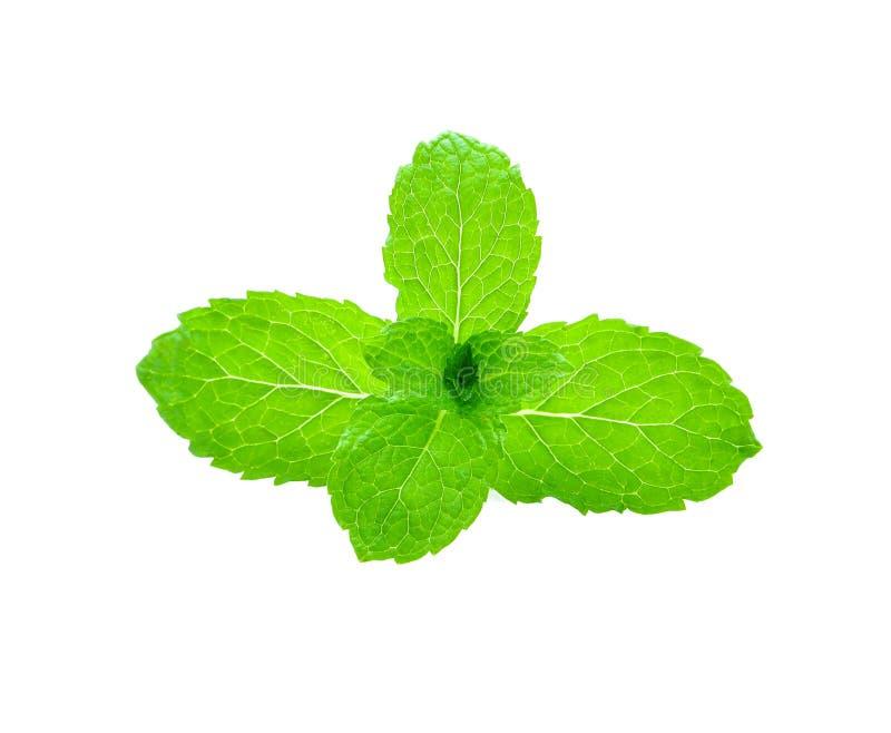 isolerade leaves mint white royaltyfria bilder