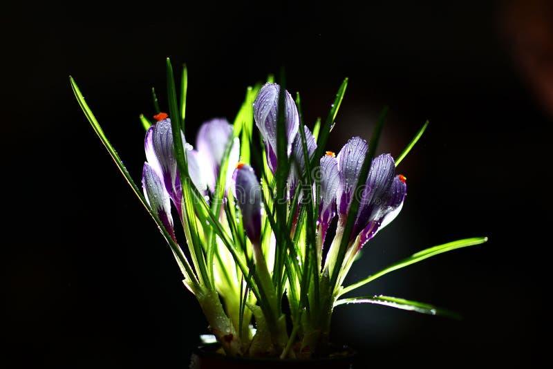Isolerade nya blommor för purpurfärgad beutifull royaltyfri bild