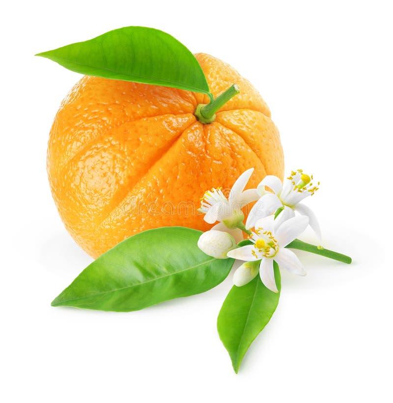 Isolerade orange frukt och blommor royaltyfri bild
