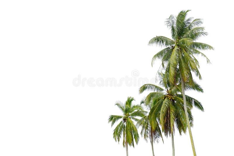 Isolerade palmträd på vit bakgrund royaltyfri fotografi