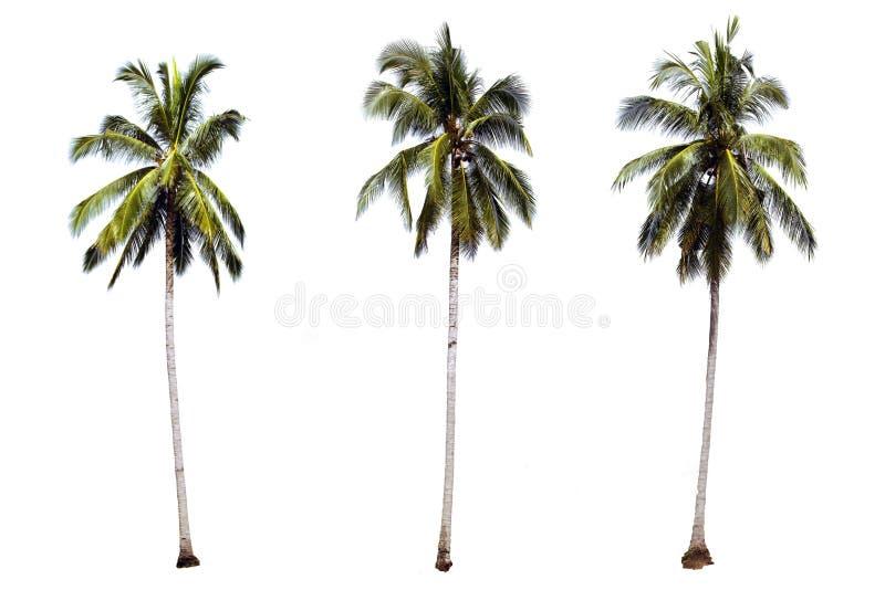 Isolerade palmträd på vit bakgrund för dekorerad idénatur arkivbilder