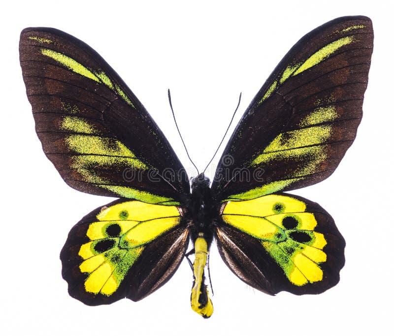 Isolerade Rothschilds birdwing tropiska fjäril arkivfoton