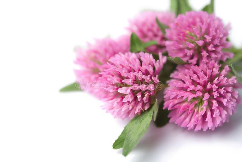 isolerade växt av släkten Trifoliumblommor royaltyfria foton