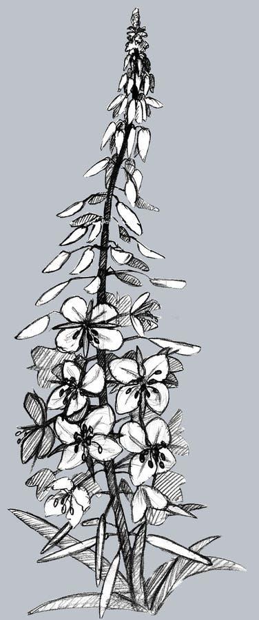 Isolerade växtpil-ört diagram royaltyfri illustrationer