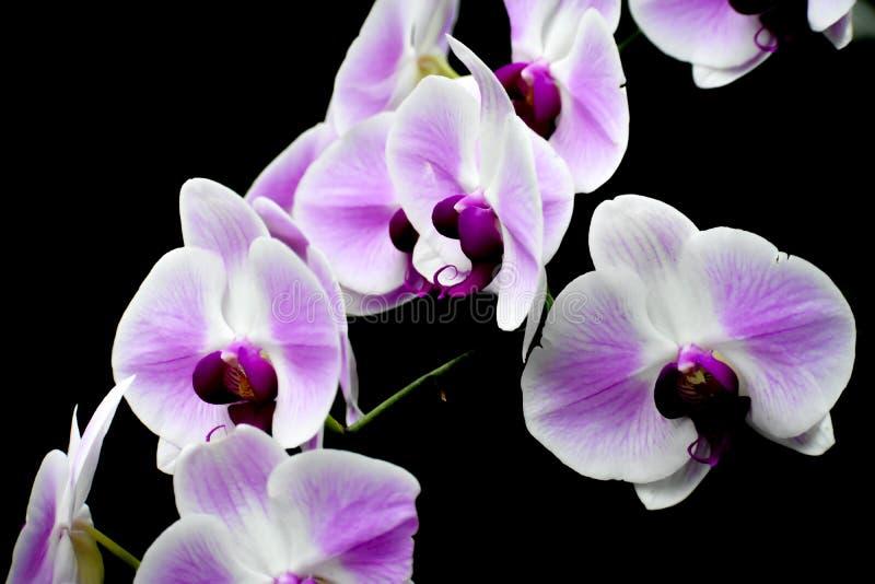 Isolerade vita och purpurfärgade orkidéblommor, svart bakgrund arkivfoton