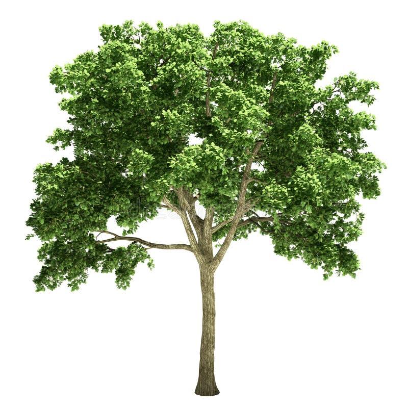 Isolerat almträd vektor illustrationer