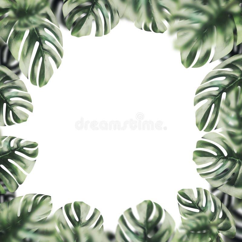 Isolerat av den botaniska ramen som göras av tropiska Monstera sidor på vit royaltyfri fotografi