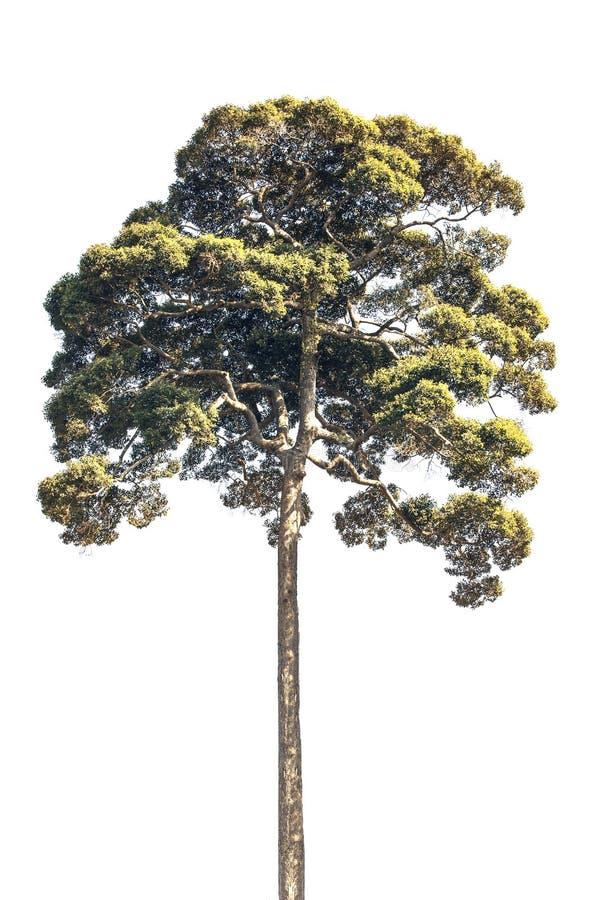 Isolerat av trädväxten med gröna sidor förgrena sig royaltyfri fotografi