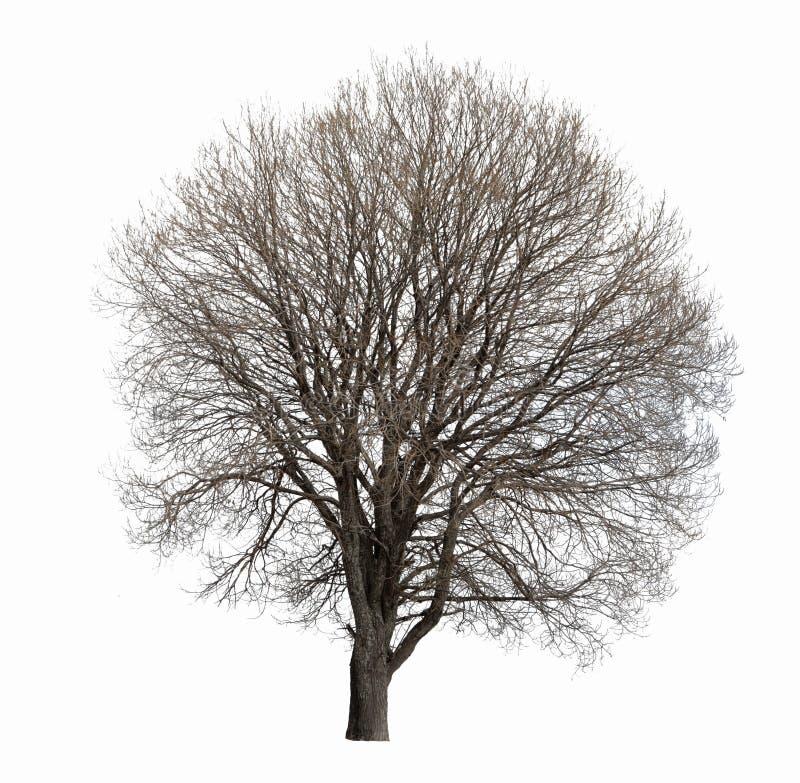 Isolerat avlövat träd royaltyfri bild