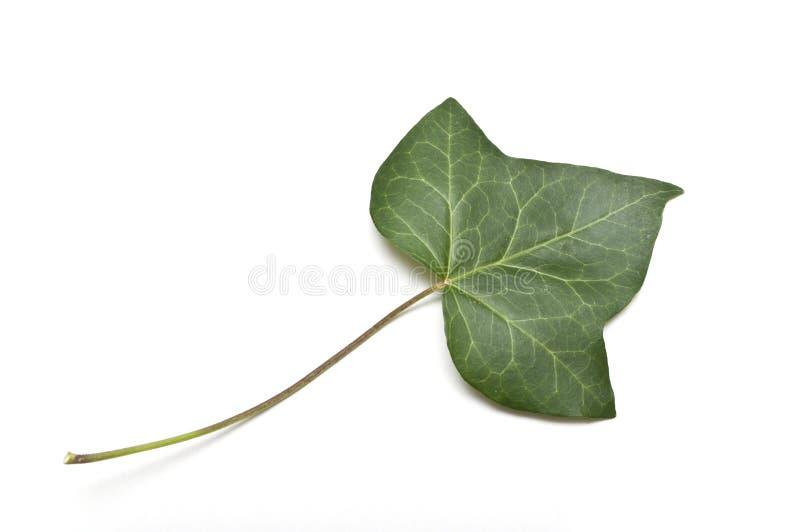 Isolerat blad av murgrönan royaltyfri foto