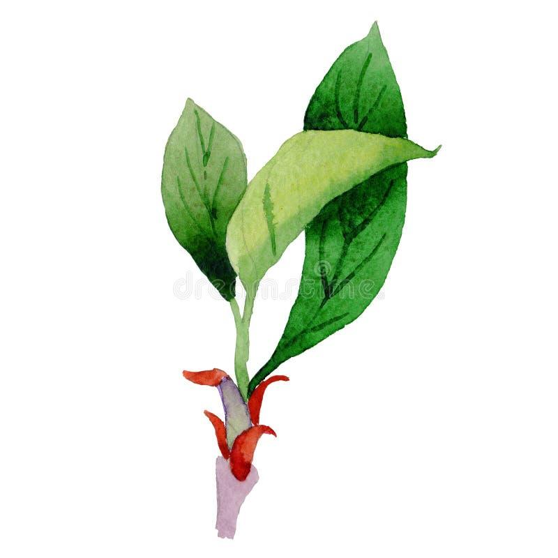 Isolerat blad för vildblommacornusflorida blomma i en vattenfärgstil vektor illustrationer