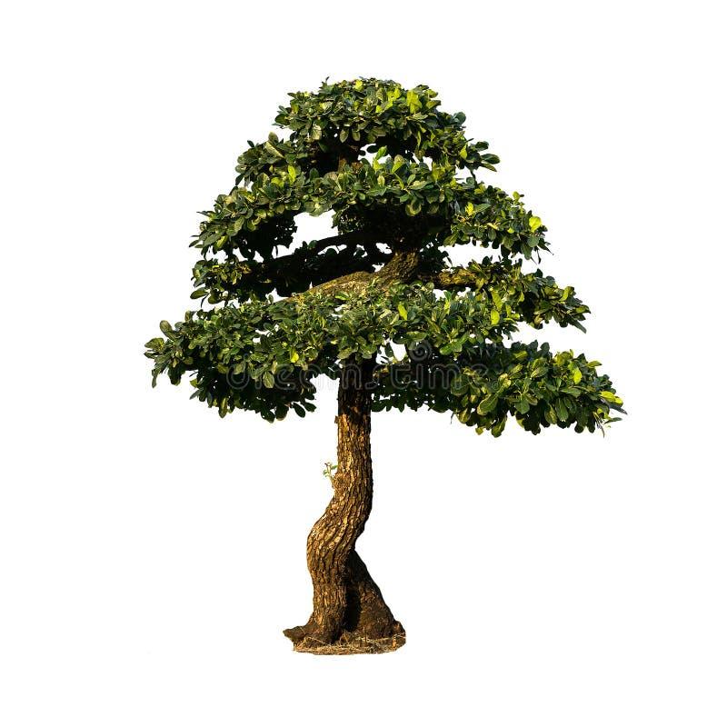 Isolerat bonsaiträd fotografering för bildbyråer