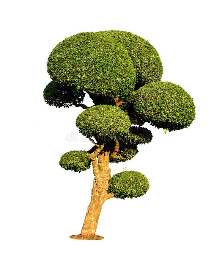 Isolerat bonsaiträd royaltyfri bild