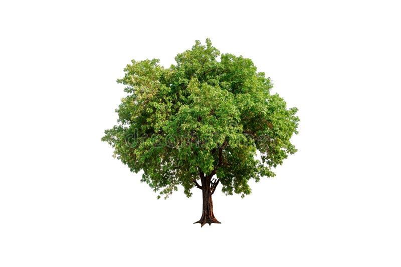 Isolerat enkelt träd arkivbild