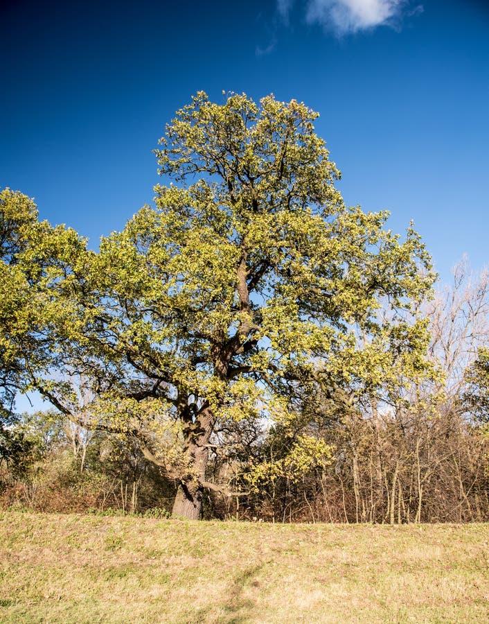 Isolerat enormt träd med busken runt om och gräs under härlig höstdag arkivbilder