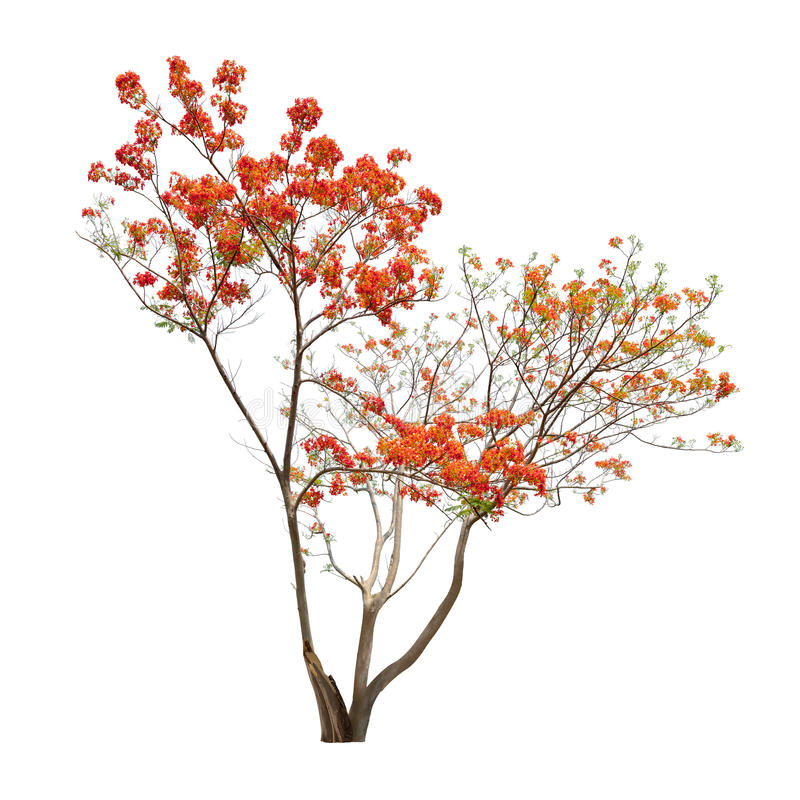 Isolerat flammaträd med inga sidor på vit bakgrund arkivbild