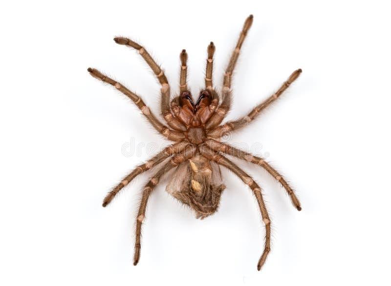 Isolerat foto av den bruna ruggningen för spindel` s royaltyfria foton