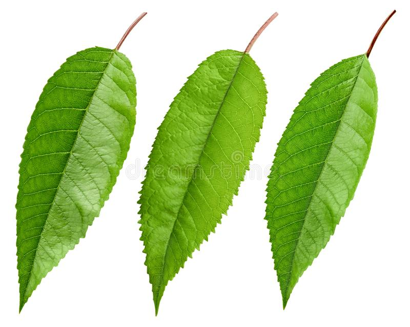 Isolerat körsbärsrött grönt blad arkivfoto