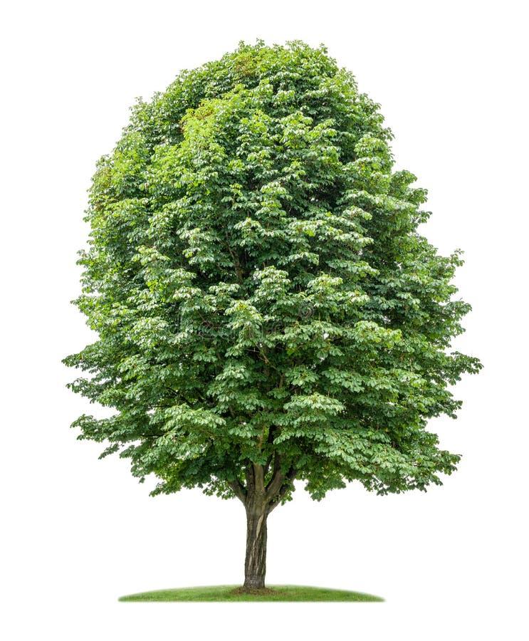 Isolerat kastanjebrunt träd för häst royaltyfri foto