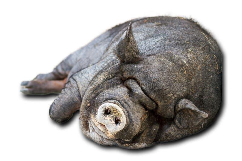 Isolerat kruka-buktat svin arkivbilder