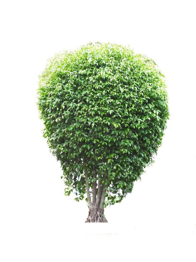 Isolerat lövfällande träd på en vit bakgrund royaltyfri fotografi