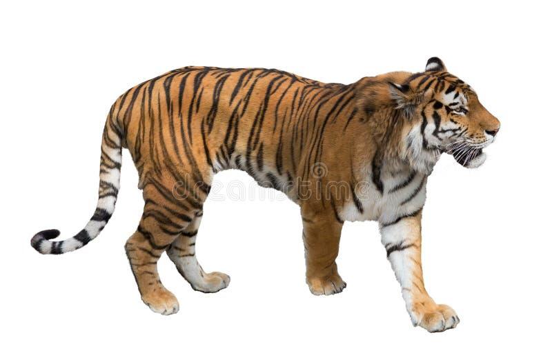 Isolerat på den vita stora tigern royaltyfri foto