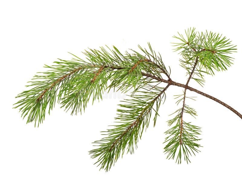 Isolerat på vitt sörja trädfilialen arkivbild