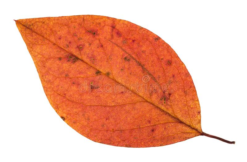 isolerat rött blad för stupad höst av äppleträdet arkivfoton