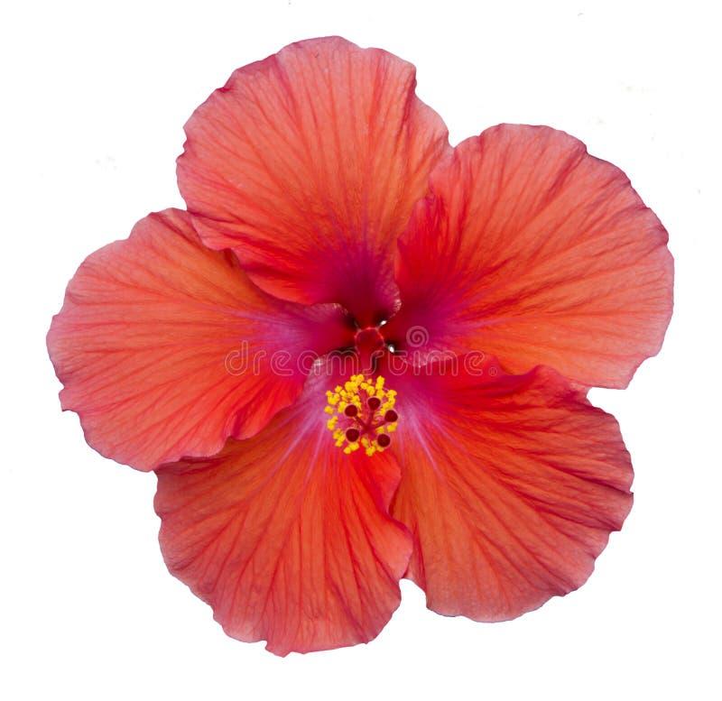 Isolerat rött blommaträ steg arkivbilder