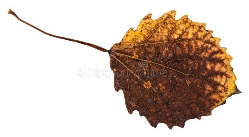 isolerat ruttet torkat blad av det asp- trädet arkivbild