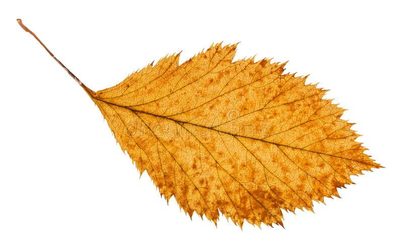 isolerat ruttet torkat blad av hagtornträdet royaltyfri foto