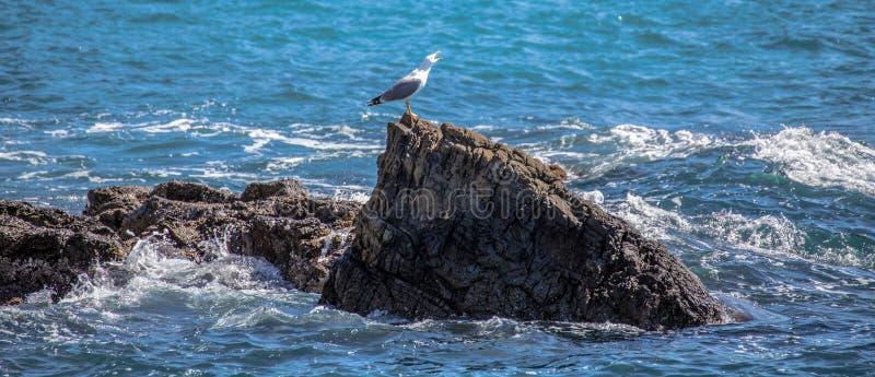 Isolerat seagullanseende på vagga på skrika för hav fotografering för bildbyråer